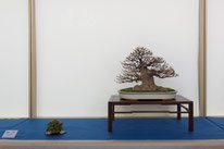 Acero buergerianum - Bonsai Club Amici del Verde - Permio IBS Bonsai