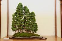 Bosco di ginepri - Ass. Arte e Cultura Bergamo Bonsai - Premio bonsai più votato dal pubblico