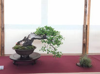 Prunus Avium - Associazione Bonsai Il Moro - 1° premio latifoglie