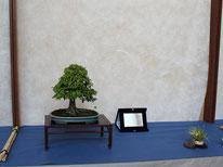 Zelkova serrata - Amici del Bonsai Castellanza - 3° premio chuhin
