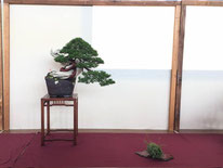 Juniperus chinensis - Brianza Bonsai - 3° premio conifere