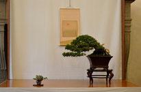 Cedro - Bonsai do Groane - 2° premio conifere