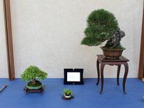 Pino nero giapponese - Jikan-en - Premio Miglior Allestimento