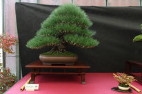 Pino thunbergii - Boves Bonsai Club - 1° premio conifere