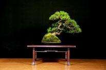 Pino mugo - Arte Bonsai Club Novara - 3° premio chuhin