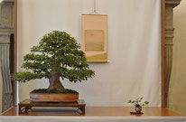 Acero buergerianum - Bonsai do Groane - 1° premio latifoglie