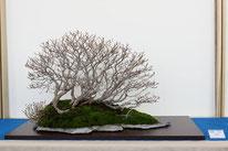 Bosco di faggi - Bonsai Blu - 1° premio latifoglie