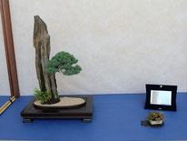 Ishizuchi con juniperus chinensis - Brianza Bonsai - 2° premio chuhin