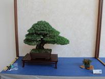 Pino pentaphylla - Bonsai Club Settelaghi Varese - Targa presidente U.B.I.