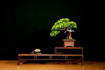 Tasso – Bonsai Do Groane - 2° Premio Chuhin
