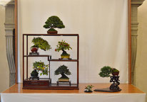 Composizione shohin - Studio Botanico  1° premio chuhin