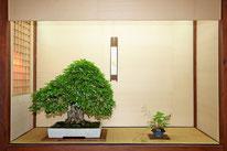 Carpino giapponese - Bonsai Club Somma - 1° premio latifoglie