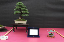 Olmo - Bonsai Club Martesana -  2° premio latifoglie