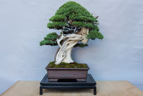 Juniperus chinensis - Studio Bonsai dell'insubria - 2° premio conifere