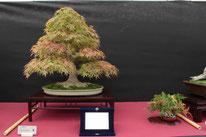 Acero palmato - Bonsai Club Amici del Verde - 1° premio latifoglie