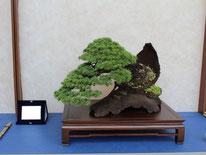 Cedro - Andolfo Bonsai Sudio - 3° premio conifere