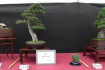 Cipresso - Boves Bonsai Club - Premio miglior bonsai B. C. Amici del Verde