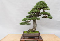 Pino silvestre - Bonsai Club Rivalta - Permio IBS Bonsai
