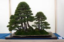 Bosco di pini silvestri - Bonsai Club Rivalta - 1° premio conifere