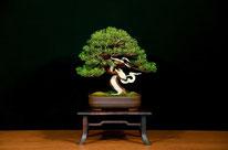 Ginepro chinensis - Brianza Bonsai - 1° premio Kifu