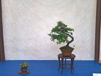 Biancospino - Bonsai Blu - 3° premio latifoglie