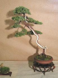 Juniperus chinensis - Nippon Bonsai Club - 3° premio conifere