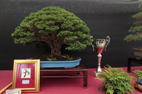 Chamaecyparis - Bonsai Wood Club - Targa presidente U.B.I.