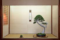 Ginepro sabina - Studio Botanico - 3° premio conifere