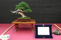 Juniperus chinensis - Associazione Bonsai il Moro - 3° premio chuhin
