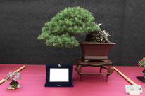 Cedro - Bonsai Do Groane - 3° premio conifere