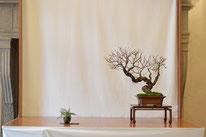 Actinidia arguta - Mizuchi Bonsai Club - Permio IBS Bonsai