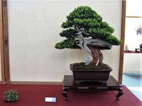 Tasso cuspidata - Bonsai Club Amici del Verde - 1° premio conifere