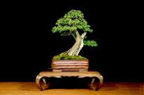 Biancospino - Studio Botanico - 2° premio latifoglie