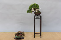 Juniperus chinensis - Bonsai Blu - 3° premio chuhin