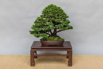 Chamaecyparis - Bonsai do Groane - 2° premio chuhin
