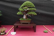Juniperus chinensis Itoigawa - Studio Botanico - 2° premio conifere