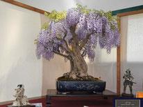 Glicine - Bonsai Club Somma - Premio bonsai più votato dal pubblico