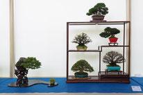Composizione shohin - Sesia Bonsai Club -  1° premio chuhin