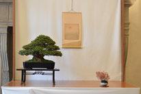 Azalea - Mizuchi Bonsai Club - Premio Bonsai do Groane Bonsai