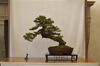 Larice - Scuola d'Arte Bonsai - 3° premio conifere