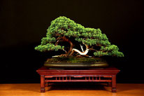 Ceppaia di ginepro - Bonsai Do Groane 3° premio conifere