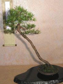 Pino silvestre - Arte Bonsai Club Novara - 2° premio conifere