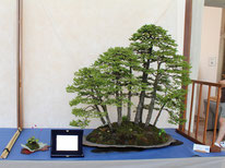 Boschetto di picee - Studio Botanico - Premio bonsai più votato dal pubblico