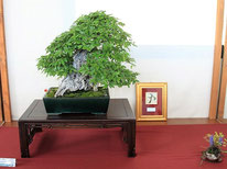 Ostrya Carpinifolia - Studio Botanico - Targa presidente U.B.I.