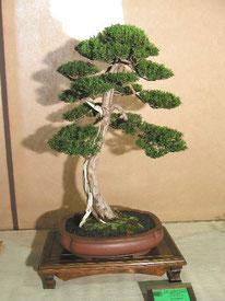 Tasso - Nippon Bonsai Club - 1° premio conifere