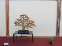 Acero Palmato - Bonsai Club Ticino -  2° premio latifoglie