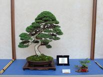 Juniperus chinensis - Jikan-en - 2° premio conifere
