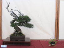Pino Mugo - Bonsai Club Ticino - 2° premio conifere
