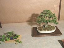 Serissa - Bonsai Club Pinerolo - 3° premio cat. Fiori e Frutti