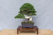 Pino mugo - Studio Botanico - 3° premio conifere
